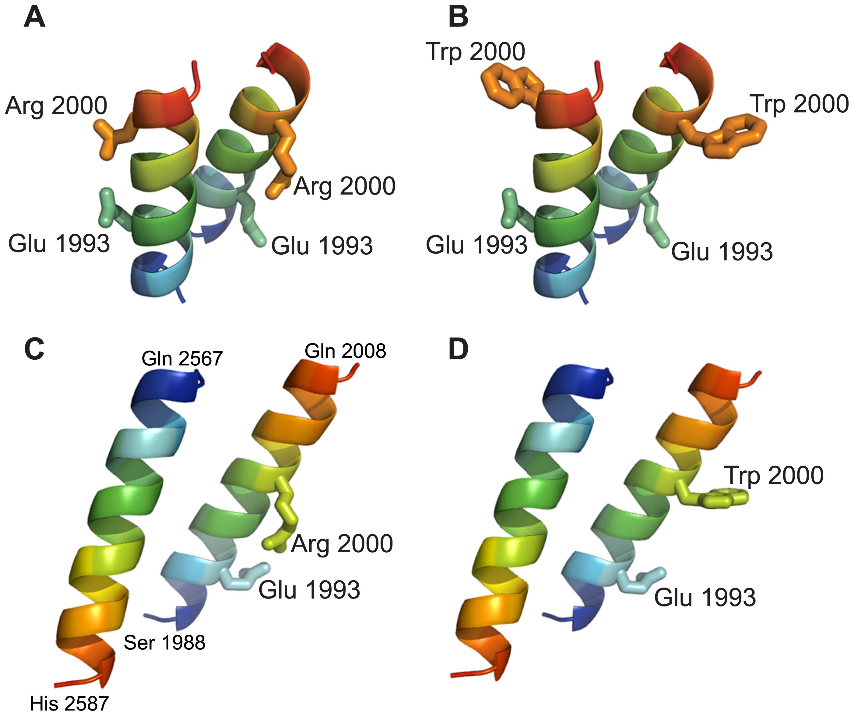 Molecular modeling of RD fragments harboring the p.Arg2000Trp mutation.