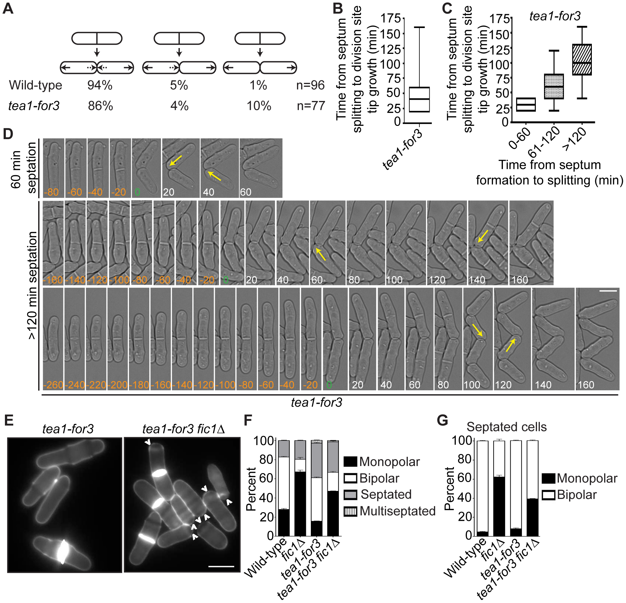 Constitutive NETO signaling does not fully rescue cytokinesis-based growth polarity defects.