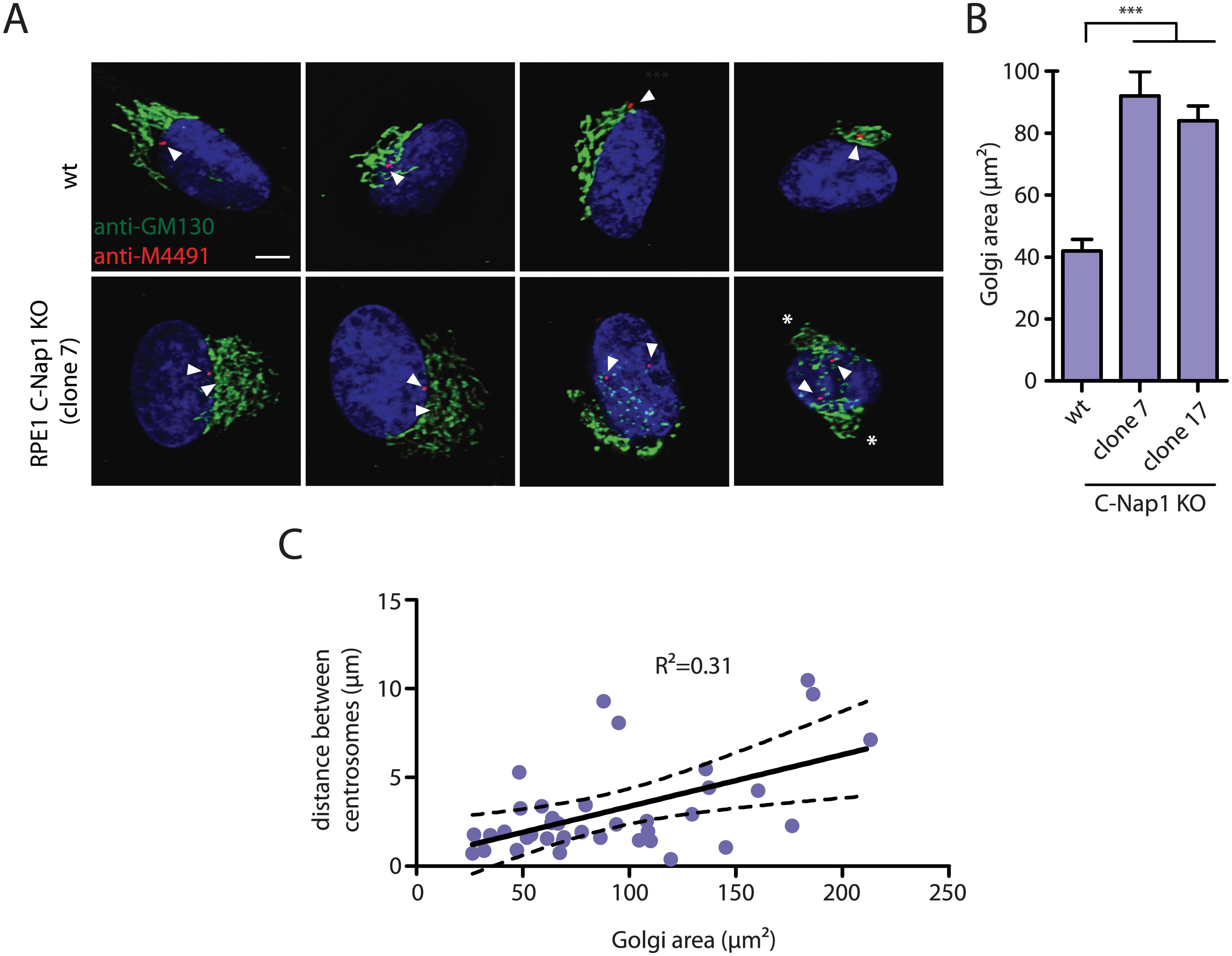 RPE1 C-Nap1 KO cells have Golgi organization defects.
