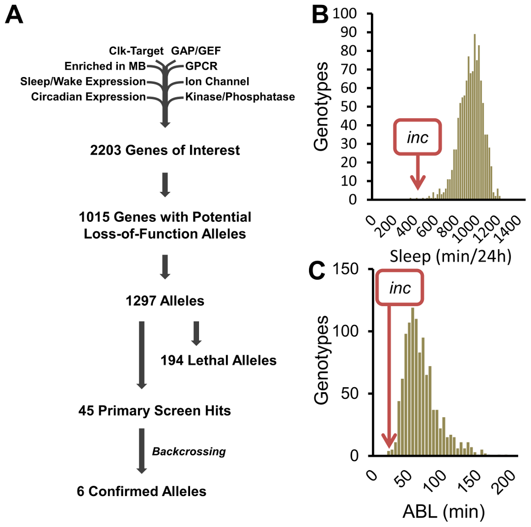 A reverse-genetics screen identifies novel sleep genes.