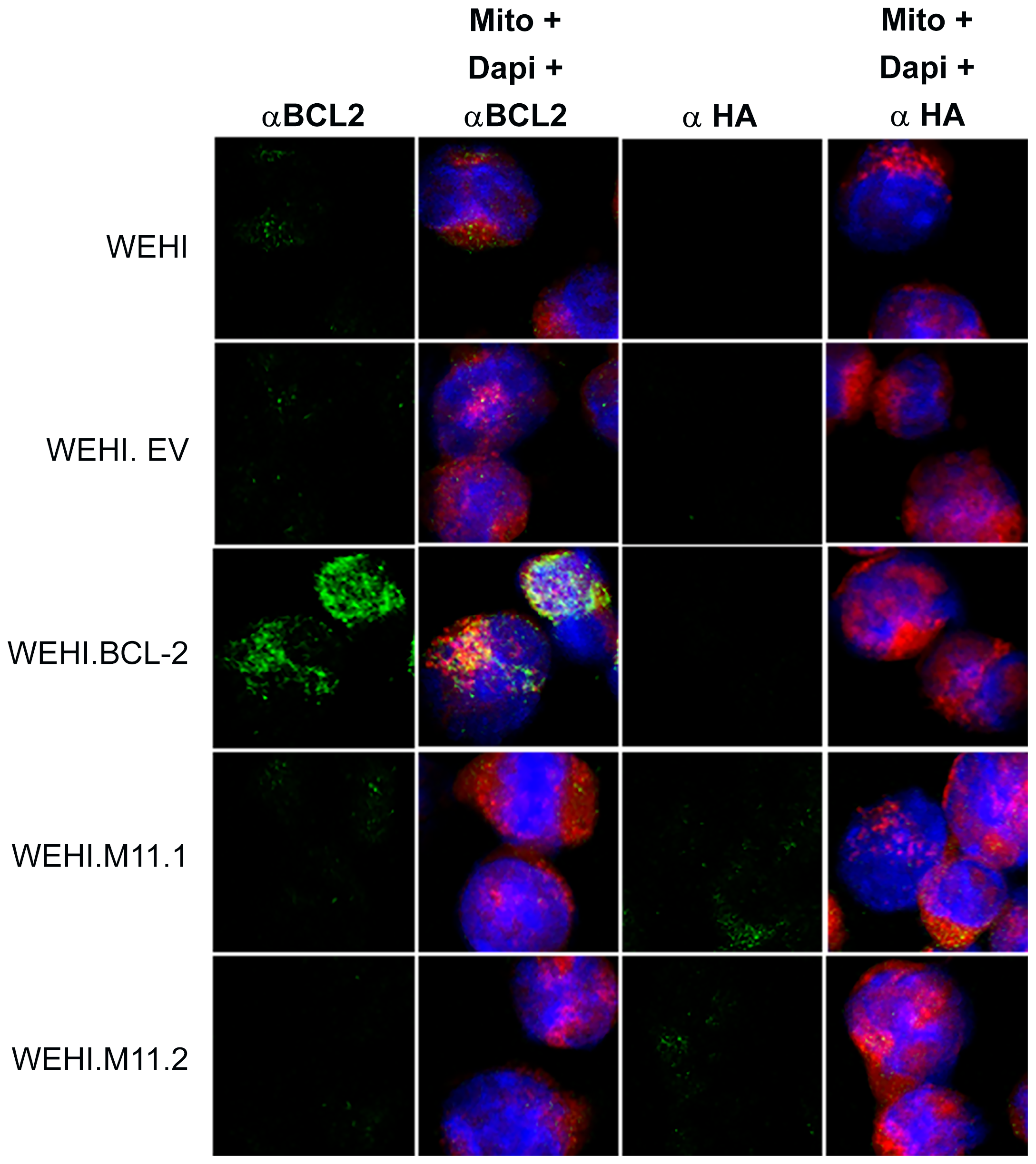 Host Bcl-2 or viral Bcl-2 (M11) expressed by transduced WEHI-231 B cell lines localize to mitochondria.