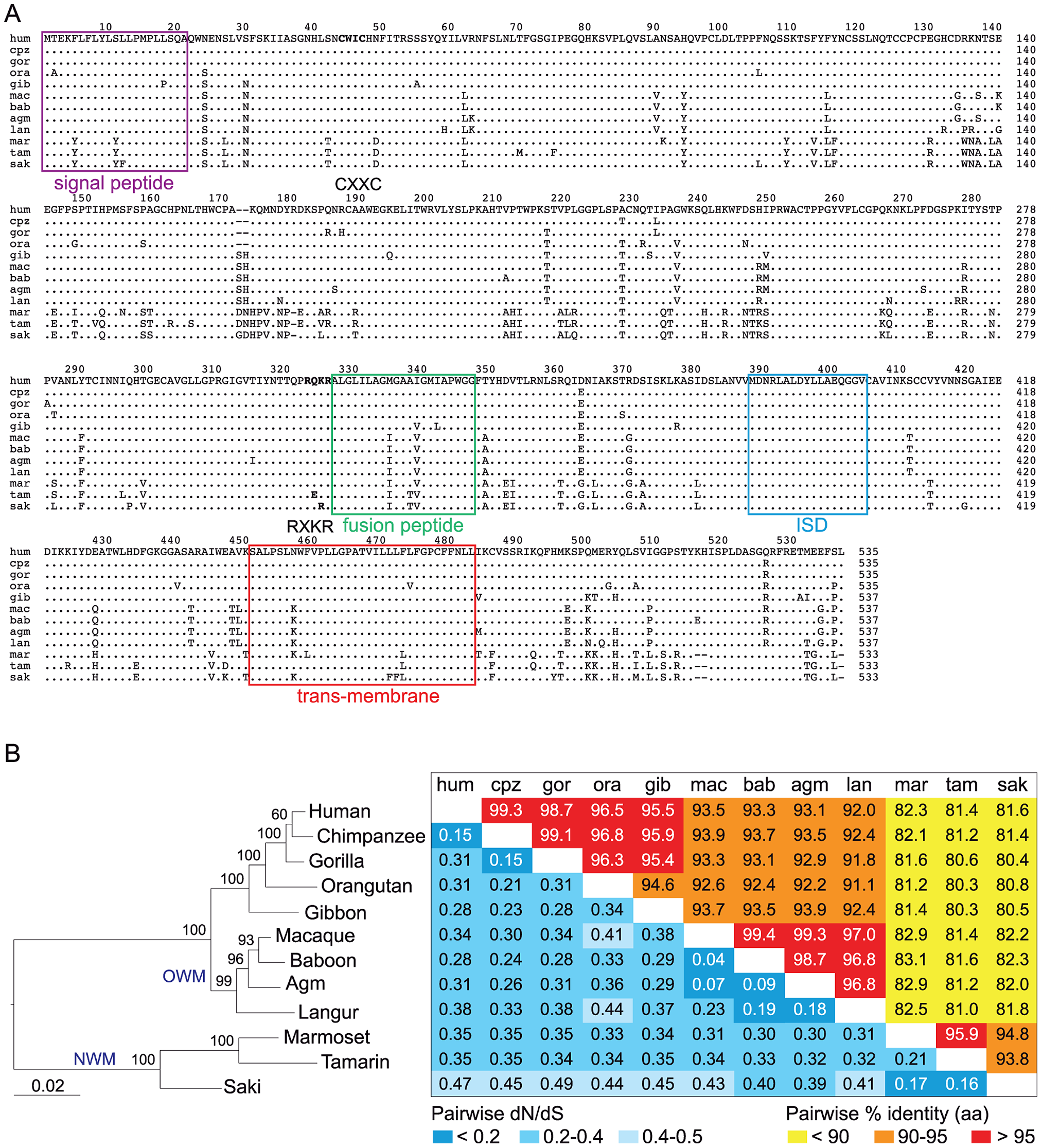 Sequence conservation and purifying selection of the <i>envV2</i> gene in primates.