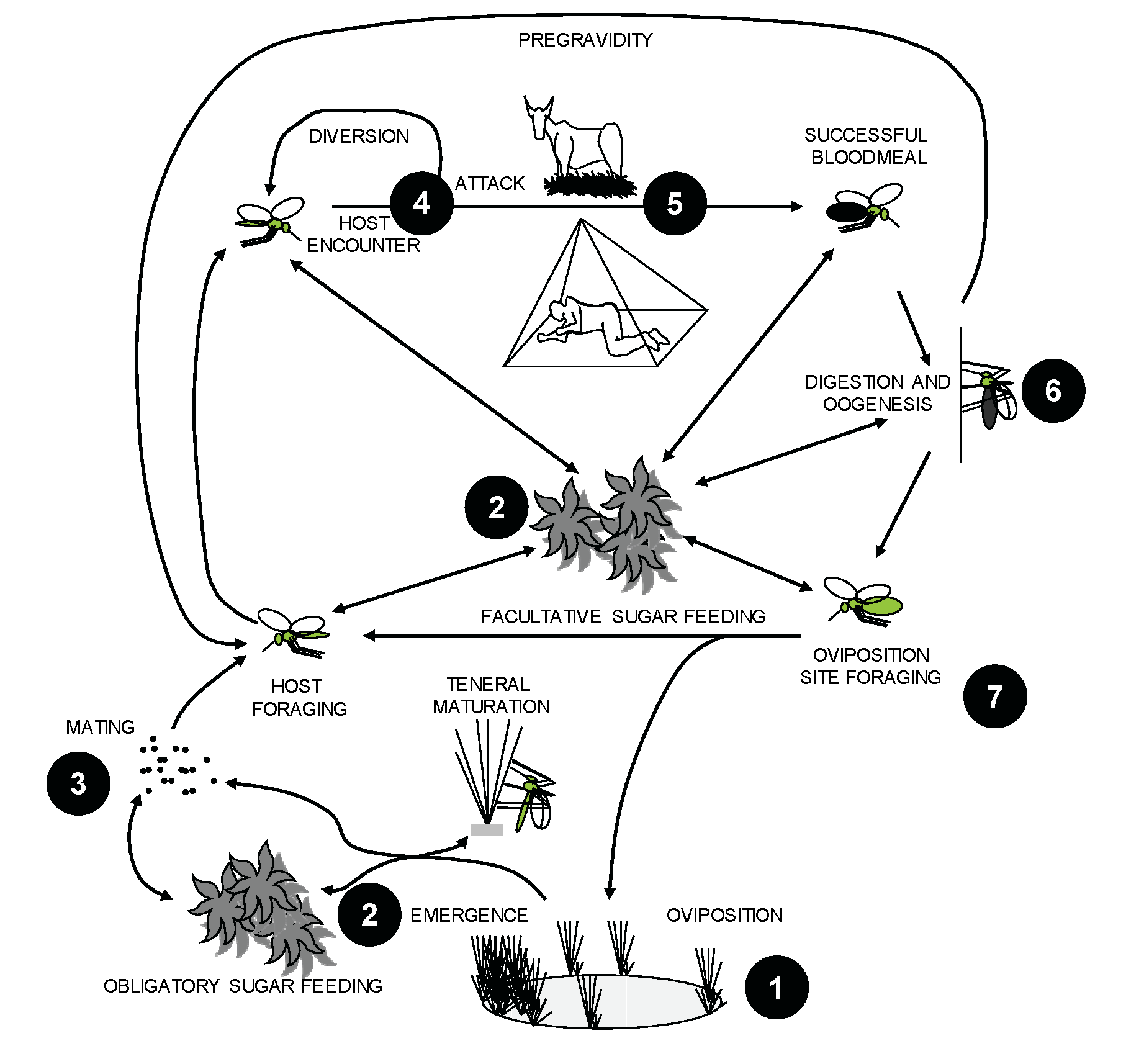 Life cycle components of malaria vector mosquitoes and corresponding examples of targets for novel intervention strategies.