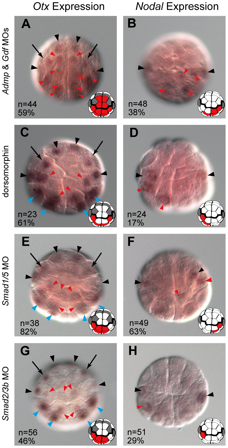 Admp and Gdf1/3-like signaling cooperatively regulates neural fate.