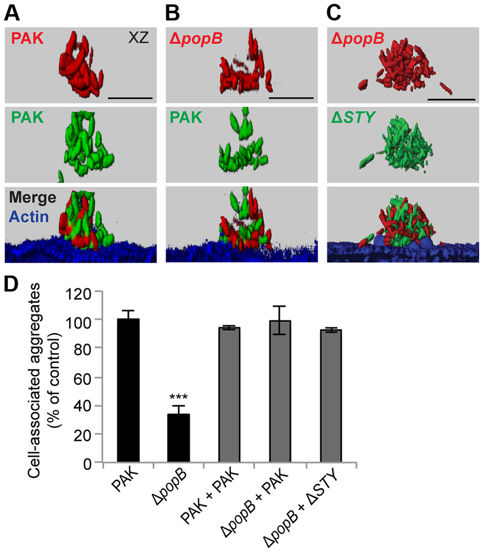 Co-infection with T3SS+ bacteria restores cell-associated aggregation in PAKΔ<i>popB</i>.