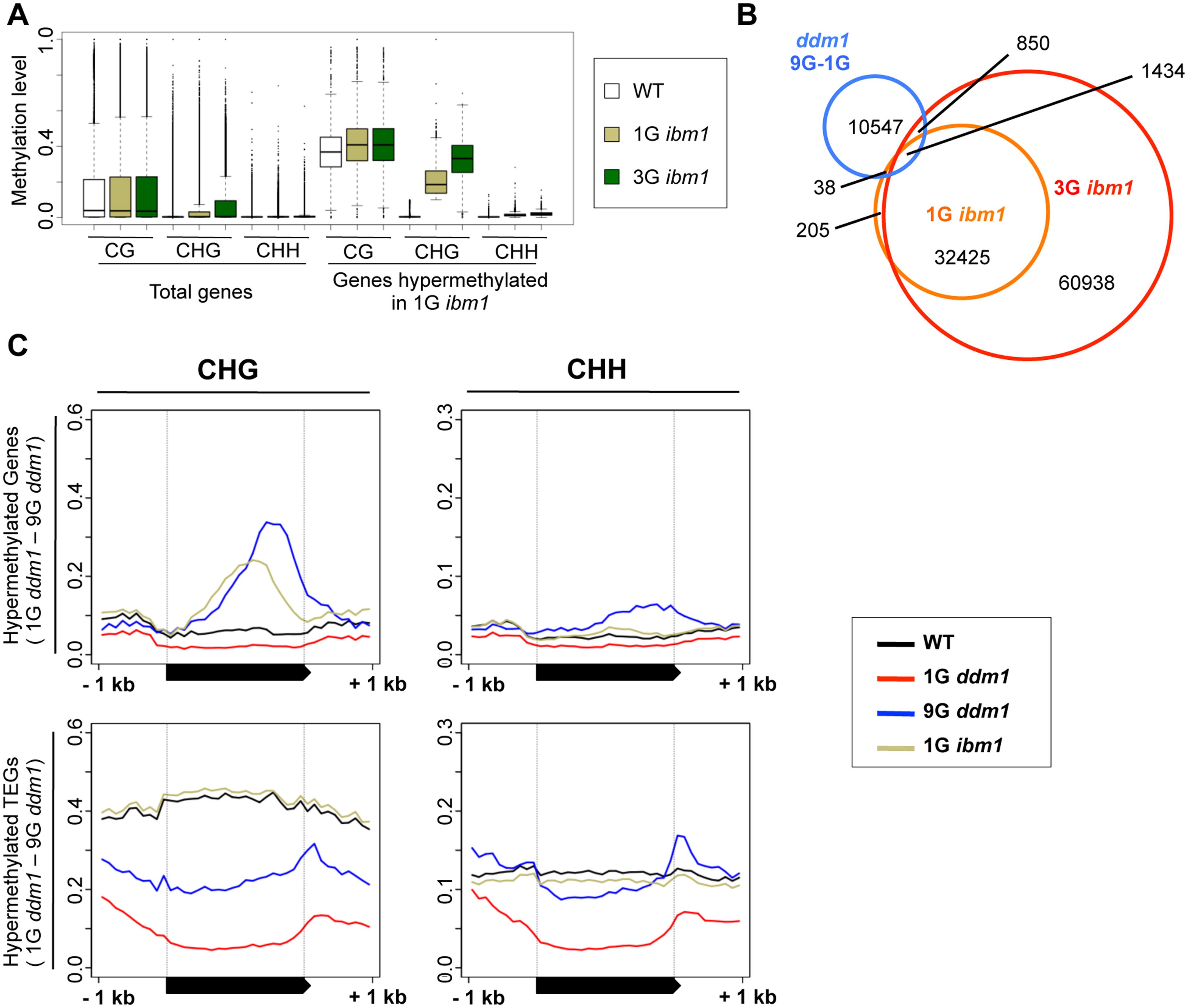 Hypermethylated regions in <i>ddm1</i> and <i>ibm1</i> mutants.