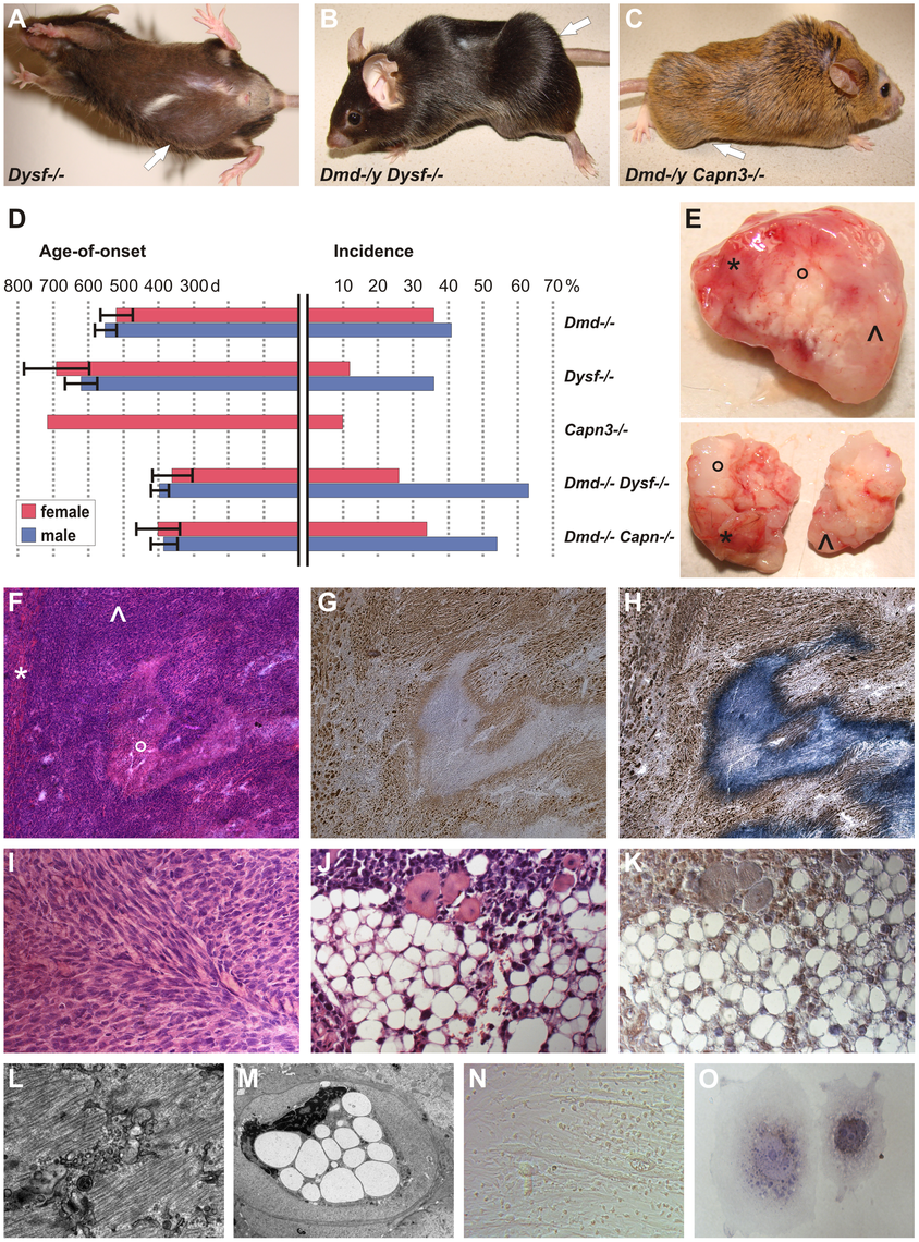 MD mice are prone to develop skeletal muscle-related malignant mixed mesenchymal tumors.