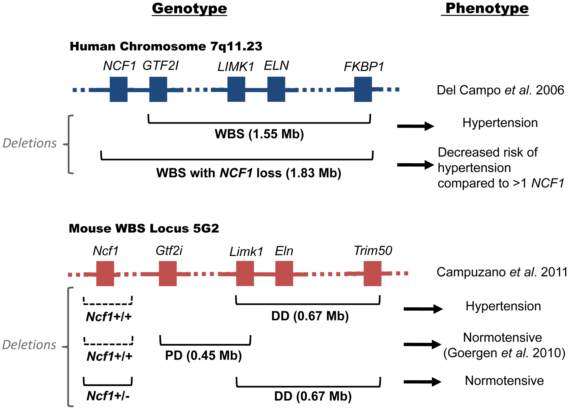 Genotype and phenotype of human and murine Williams-Beuren Syndrome.