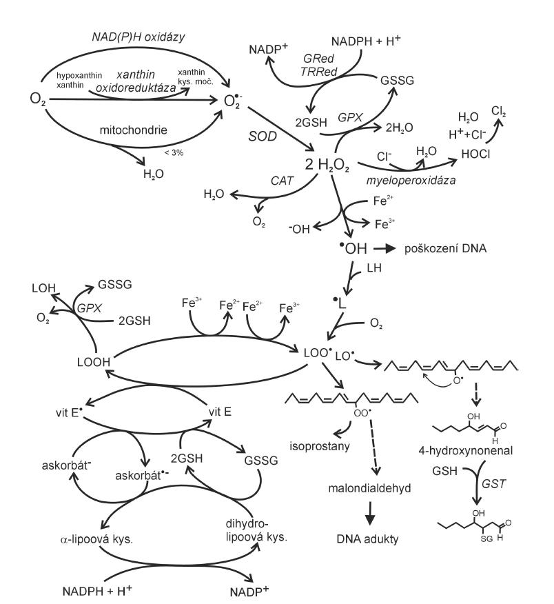 Vznik reaktivních forem kyslíku v lidském organismu a jejich další osud (dle 6, 19) vit – vitamin, GSH – glutathion, GSSG – glutathion disulfid, GPx – glutahion peroxidáza, GRed – glutathion reduktáza, GST – glutathion S-transferáza, TRRed – thioredoxin reduktáza, CAT – kataláza, LH – mastná kyselina, SOD – superoxid dismutáza