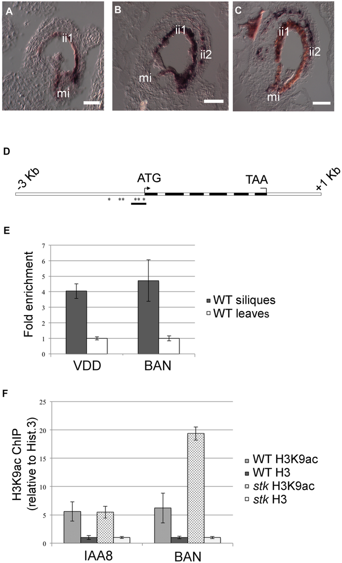 STK directly regulates <i>BAN</i> expression through the modification of chromatin state.