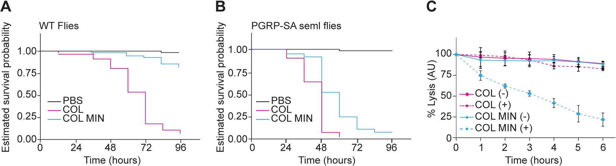 <i>S</i>. <i>aureus</i> COL MIN showed attenuated virulence in a <i>Drosophila</i> infection model and increased susceptibility to lysozyme.