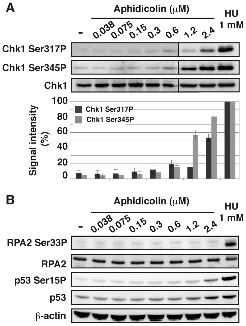Moderate fork slowing does not trigger phosphorylation of ATR targets.
