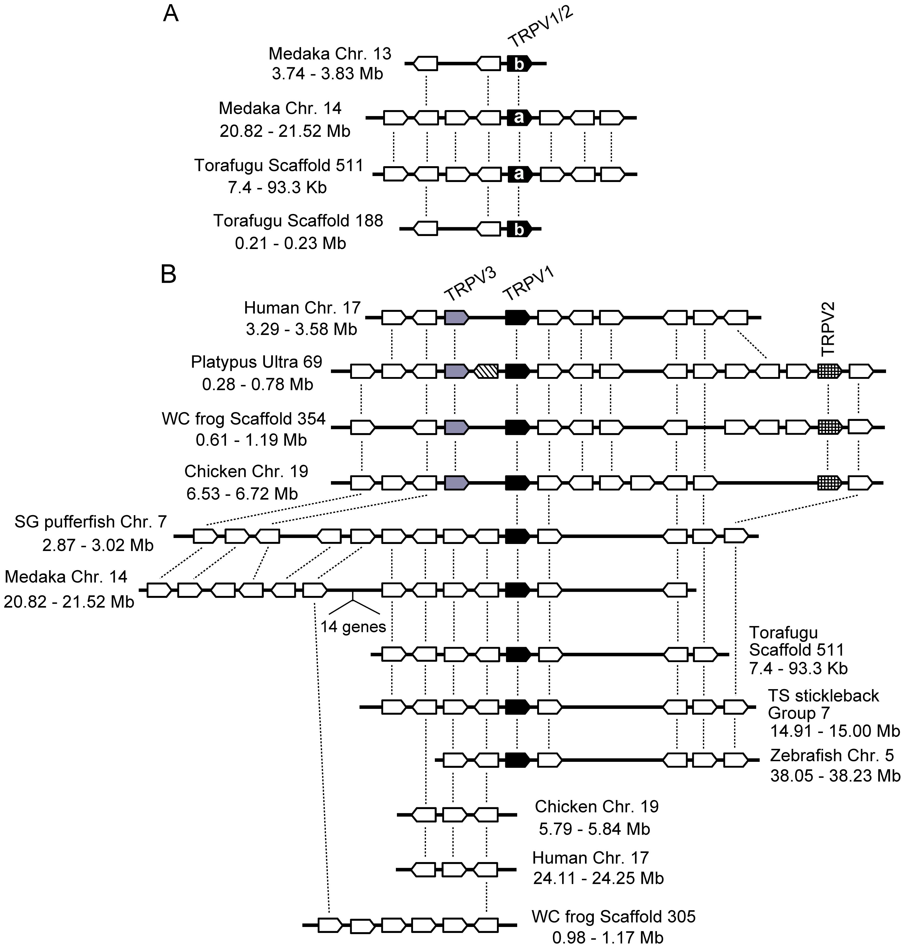 Conserved gene arrangements in the genomic regions encompassing vertebrate <i>TRPV1-TRPV3</i> genes.