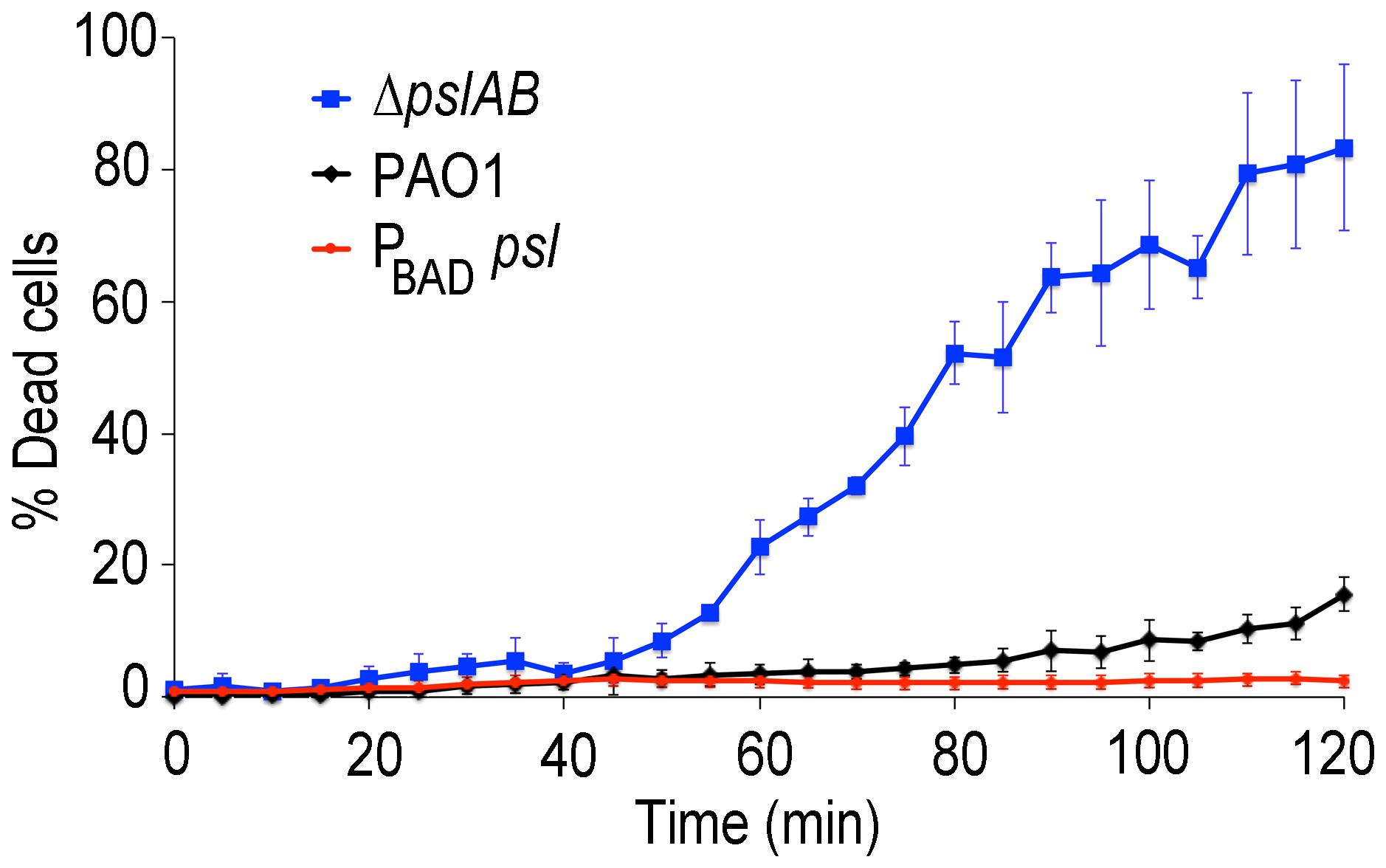 Psl contributes to colistin tolerance for biofilms grown under flow.