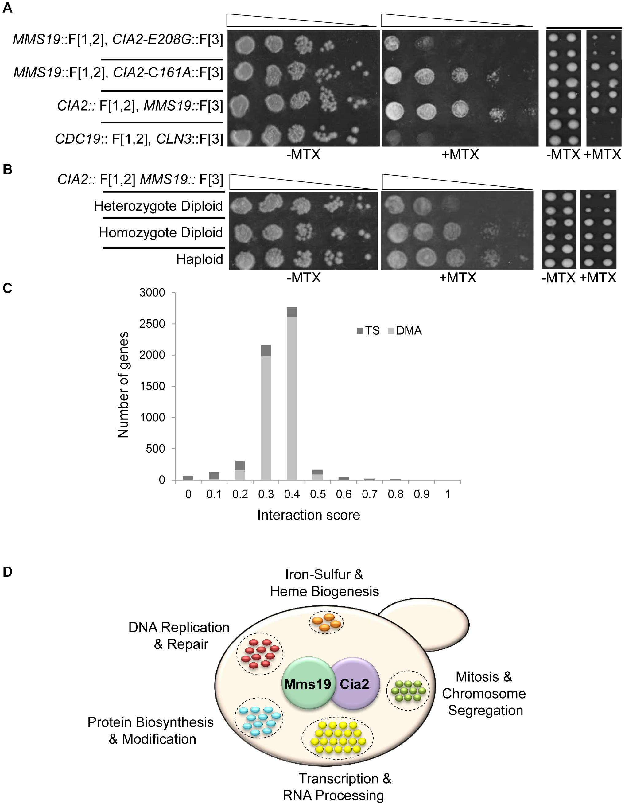 (A) PPI indicated by cell resistance to MTX can be reversed by <i>cis</i>-acting mutations.