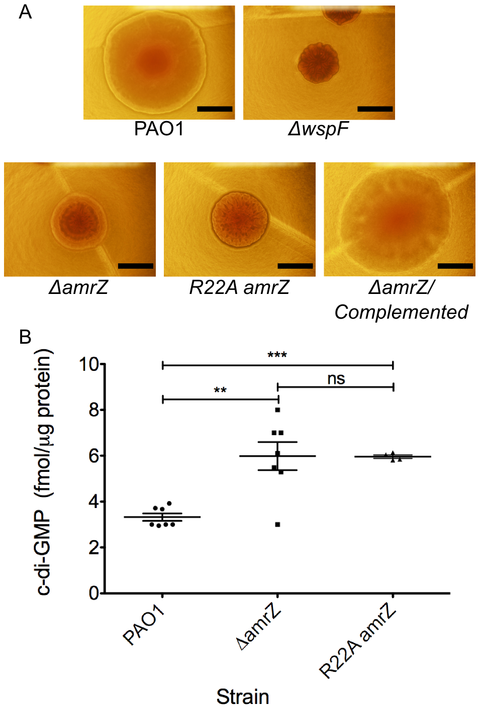 <i>amrZ</i> mutants show characteristics of Rugose Small Colony Variant Strains.
