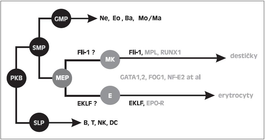 Schéma krvetvorných řad se specielním zaměřením na MEP a účast transkripčních faktorů ve vývoji destiček a erytrocytů. PKB - pluripotentní kmenová buňka. SMP - společný myeloidní progenitor. SLP- společný lymfoidní progenitor. GMP - granulocyto-makrofágový progenitor. MEP - megakaryocyto-erytroidní progenitor. MK - megakaryocyty. E - erytroidní prekurzory.