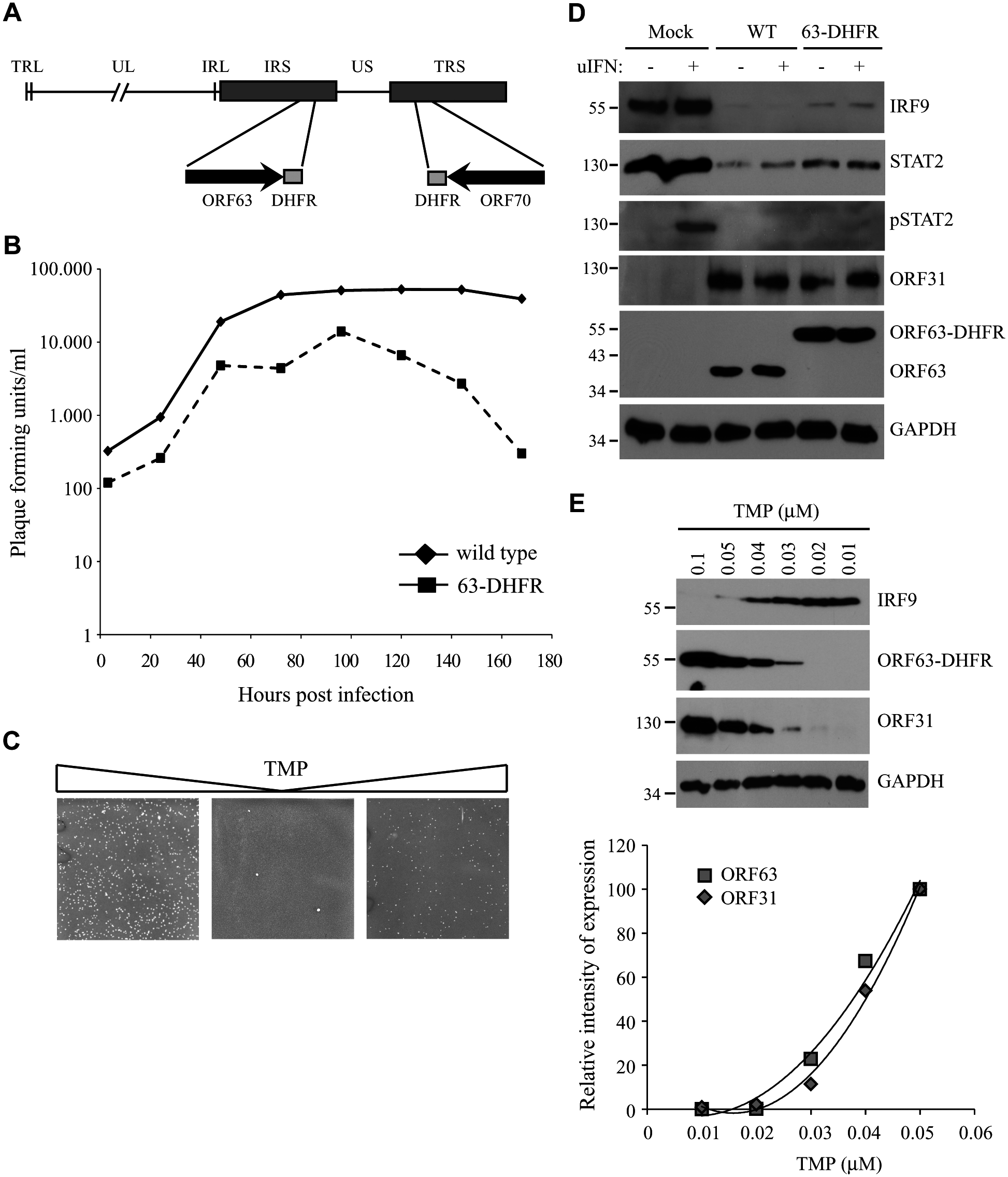 The characteristics of a conditionally ORF63/ORF70-expressing mutant virus.