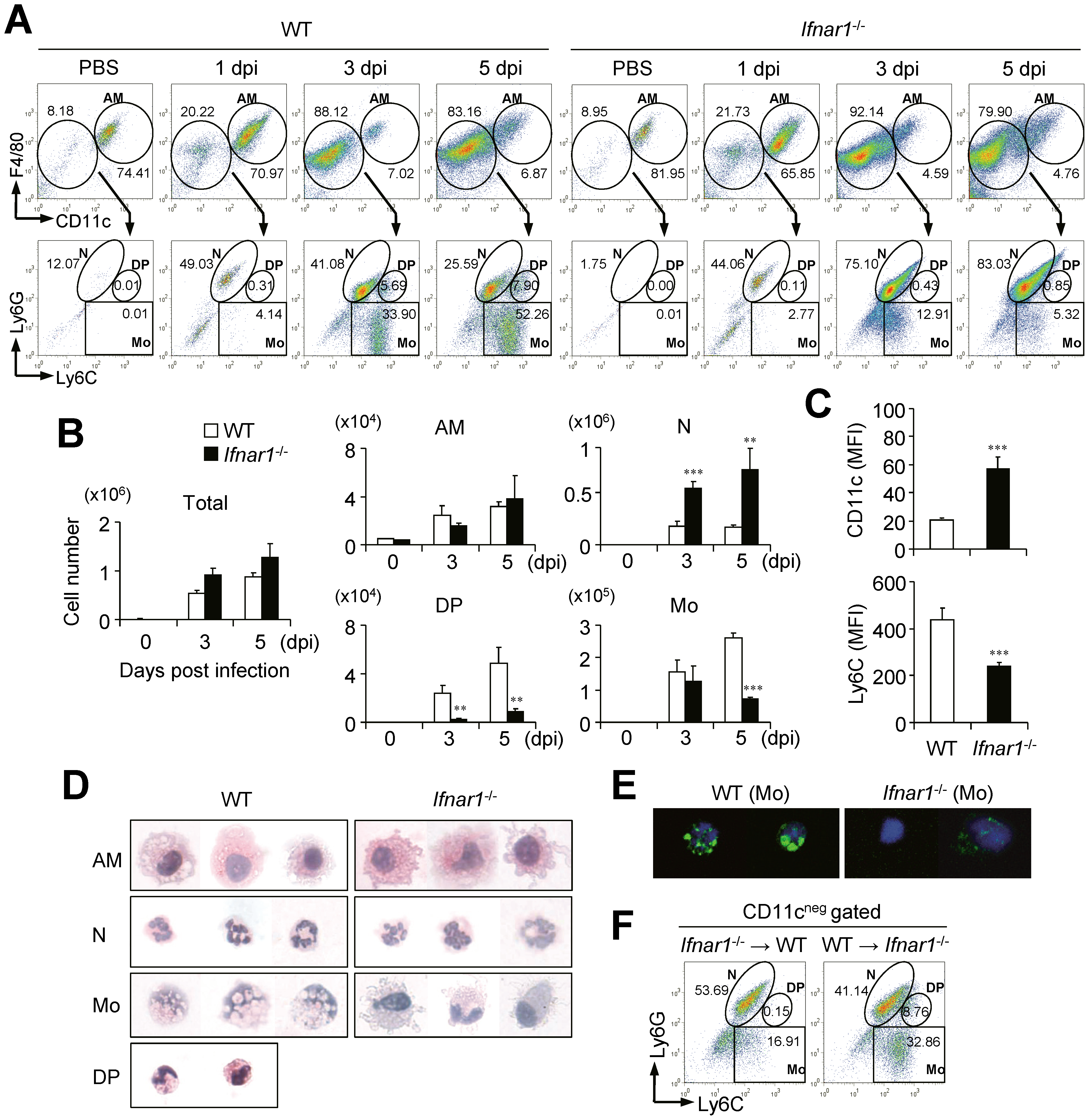<i>Ifnar1</i><sup>−/−</sup> mice develop different cell population profiles in the lung after influenza infection.