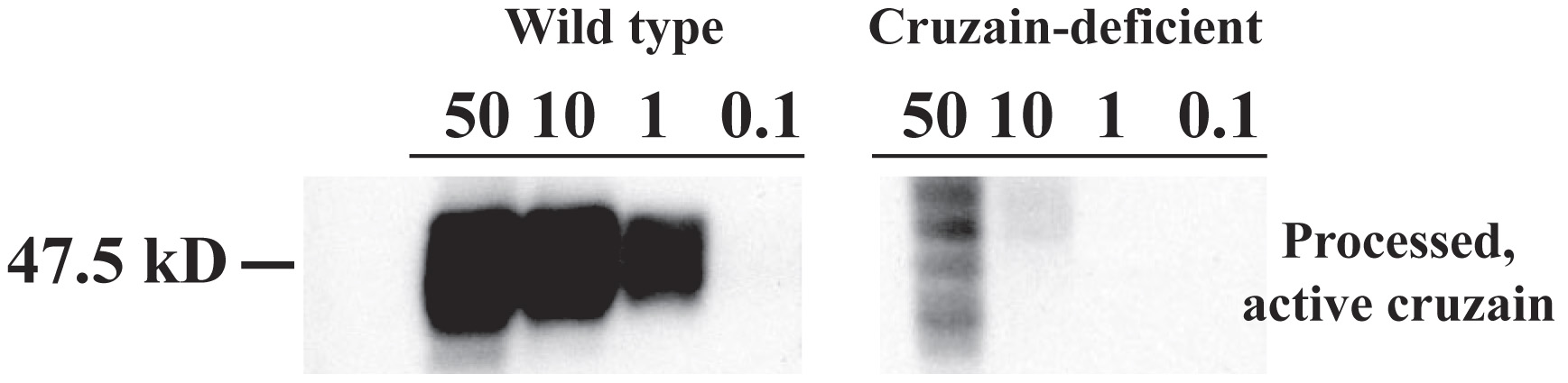 An active site affinity tag identifies processed active proteases of wild type and cruzain deficient <i>T. cruzi.</i>