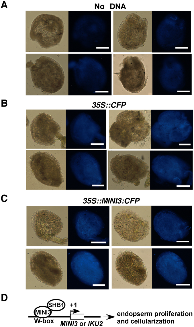 The CaMV 35S promoter drives expression of CFP or MINI3:CFP in transient bombardment experiments.