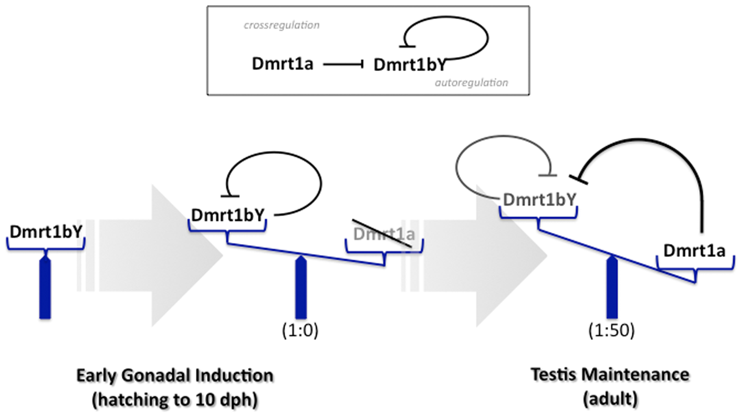 Model for feedback and cross-regulation of the medaka dmrt1 paralogs.