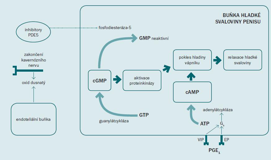 Schéma 1. Obrázek demonstruje mechanizmus účinku vzniku erekce vyvolané prostřednictvím aplikace PDE5i a PGE1.
