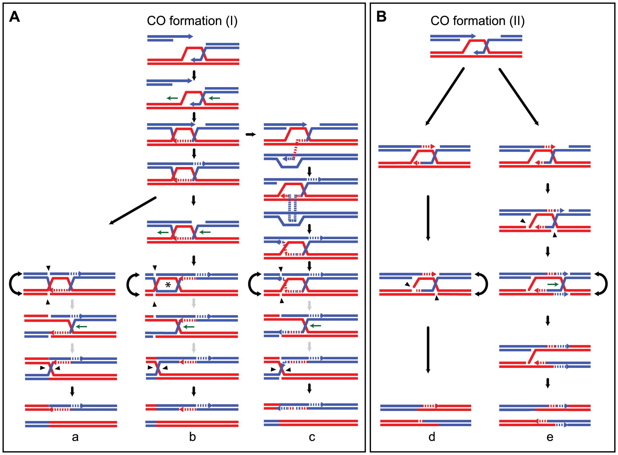 Models for meiotic CO formation.