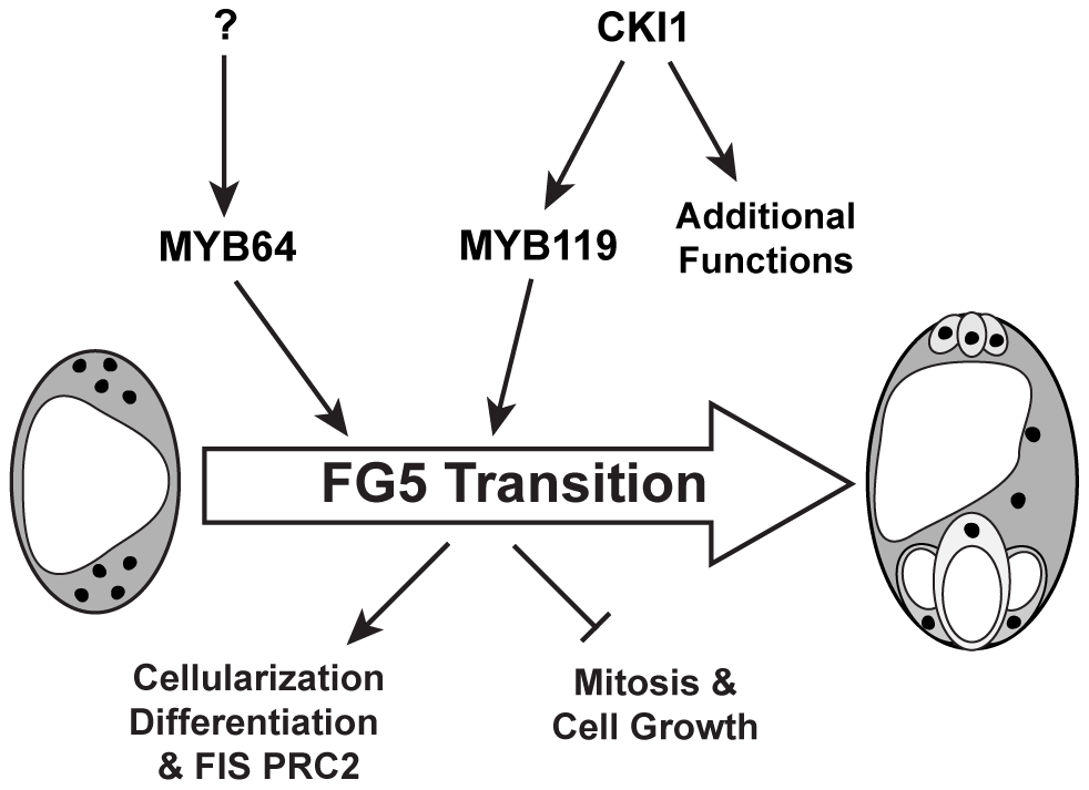 Regulation of the FG5 transition during female gametogenesis.