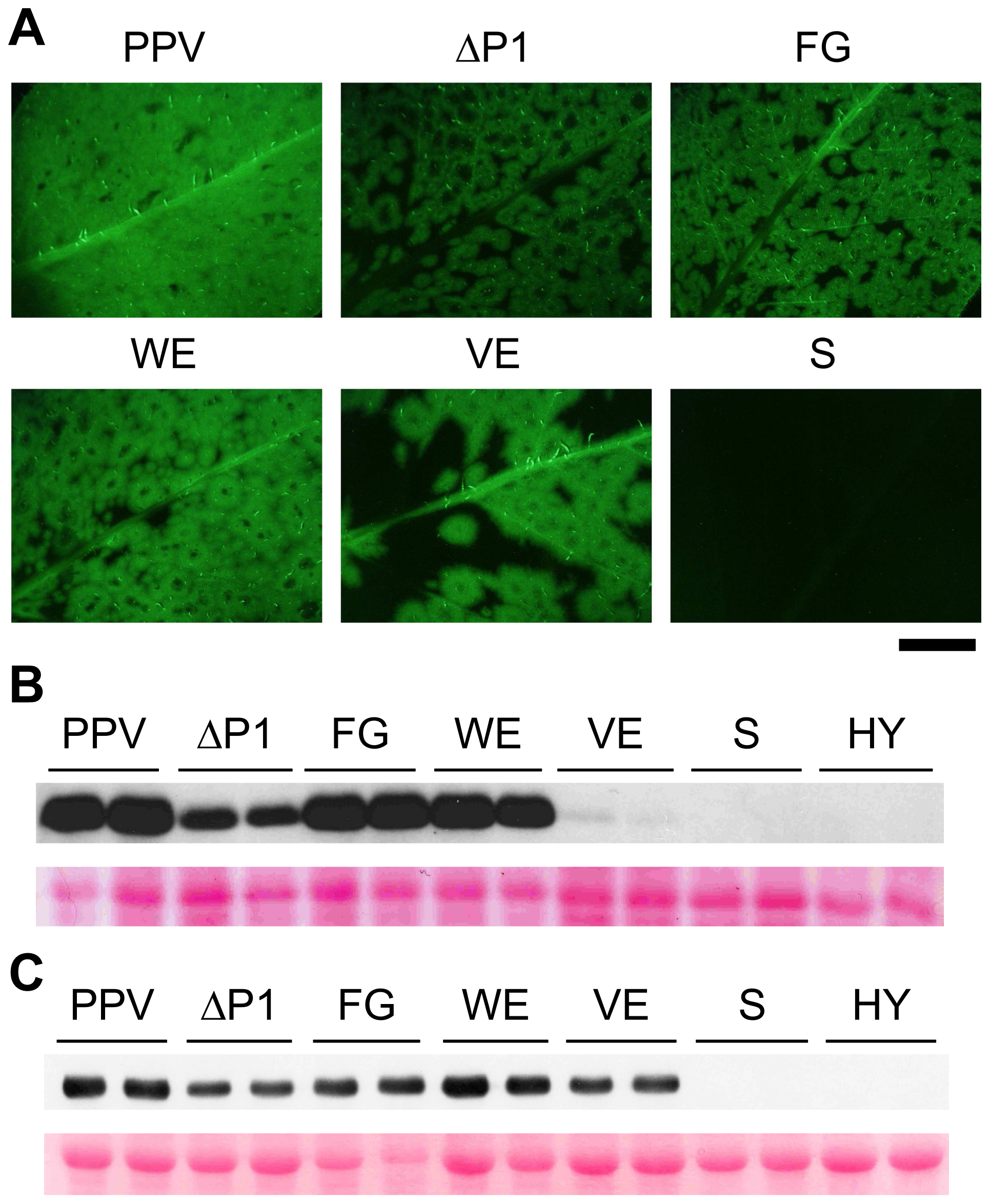 GFP fluorescence and viral accumulation of PPV cDNA clones with altered P1 sequence.