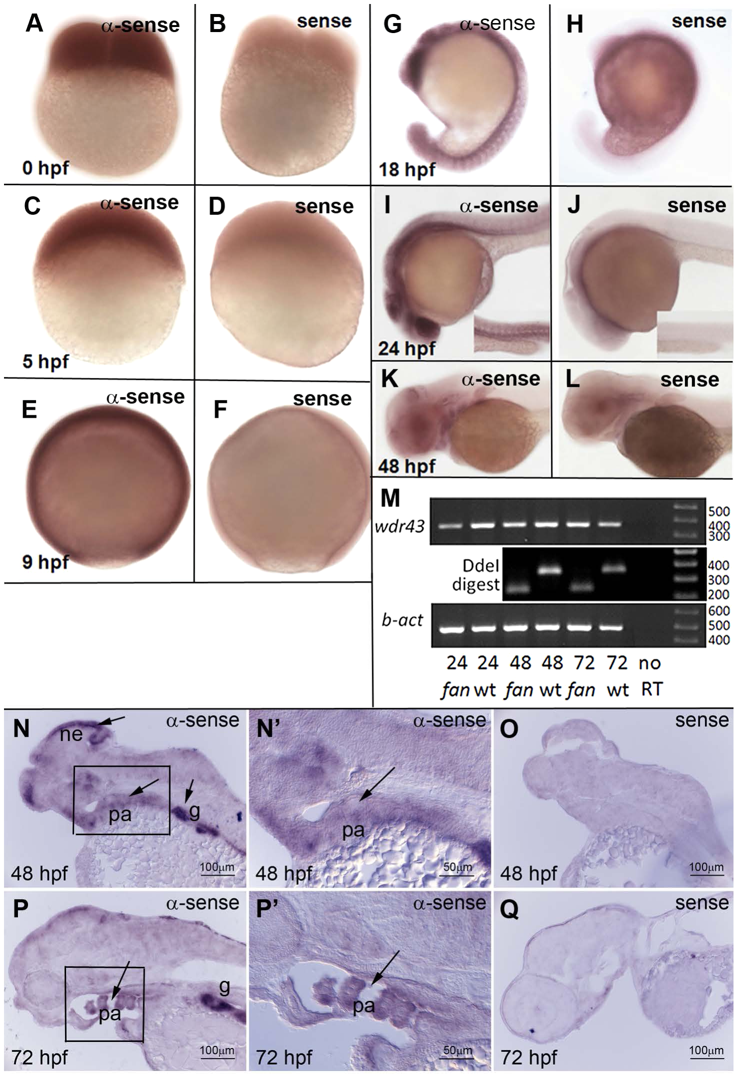 Developmental expression pattern of zebrafish <i>wdr43</i> mRNA.