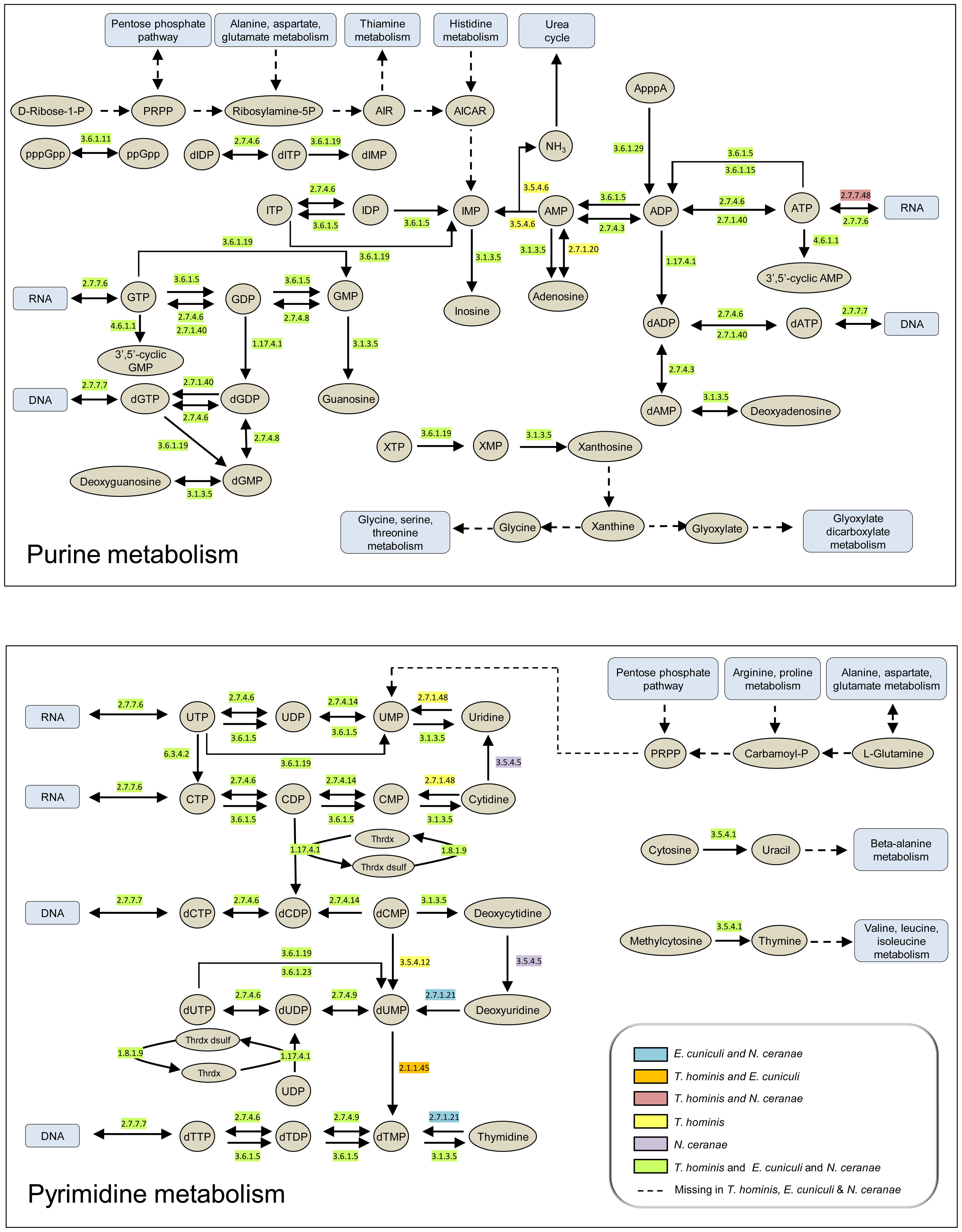 Purine and pyrimidine metabolism in <i>Encepthalitozoon cuniculi, Nosema ceranae</i> and <i>Trachipleistophora hominis</i>.