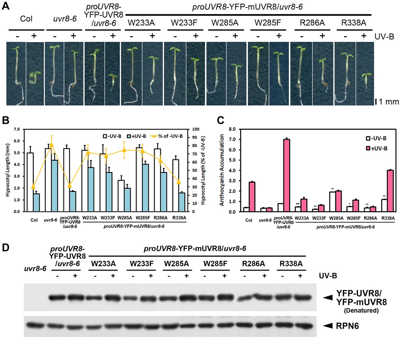 UVR8 variants result in impaired UV-B-induced photomorphogenesis.