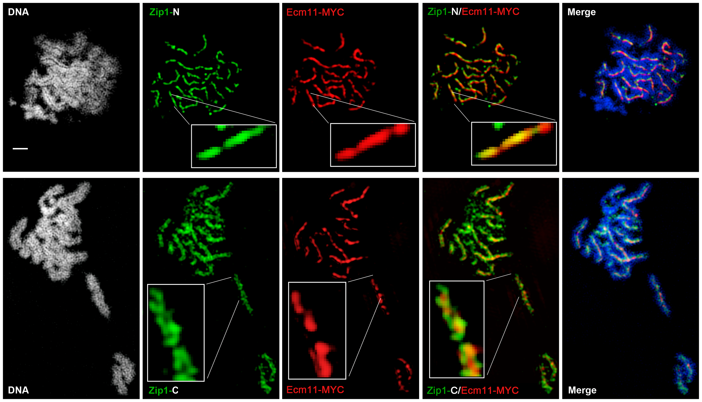 Ecm11-MYC is positioned at the central element of the budding yeast SC.