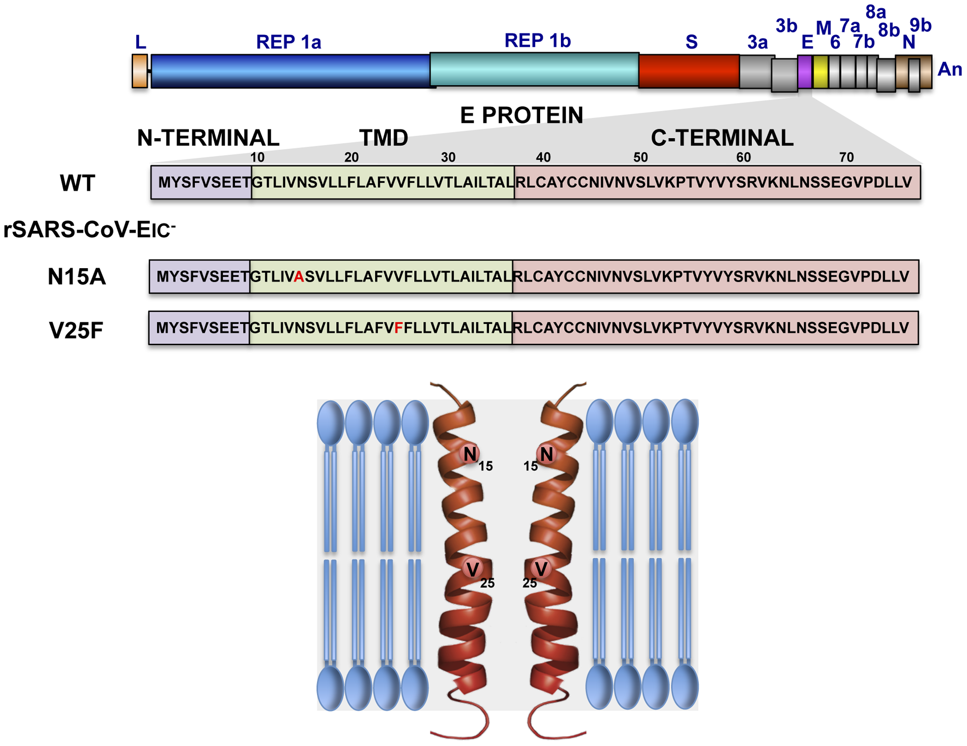 Engineering of rSARS-CoVs lacking E protein ion channel (IC) activity.