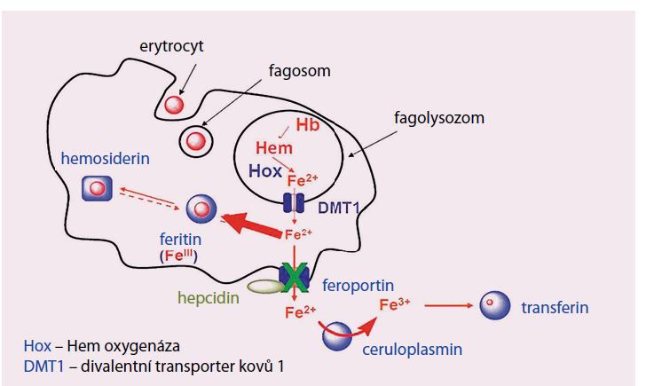 Metabolizmus Fe v mikrofázích.