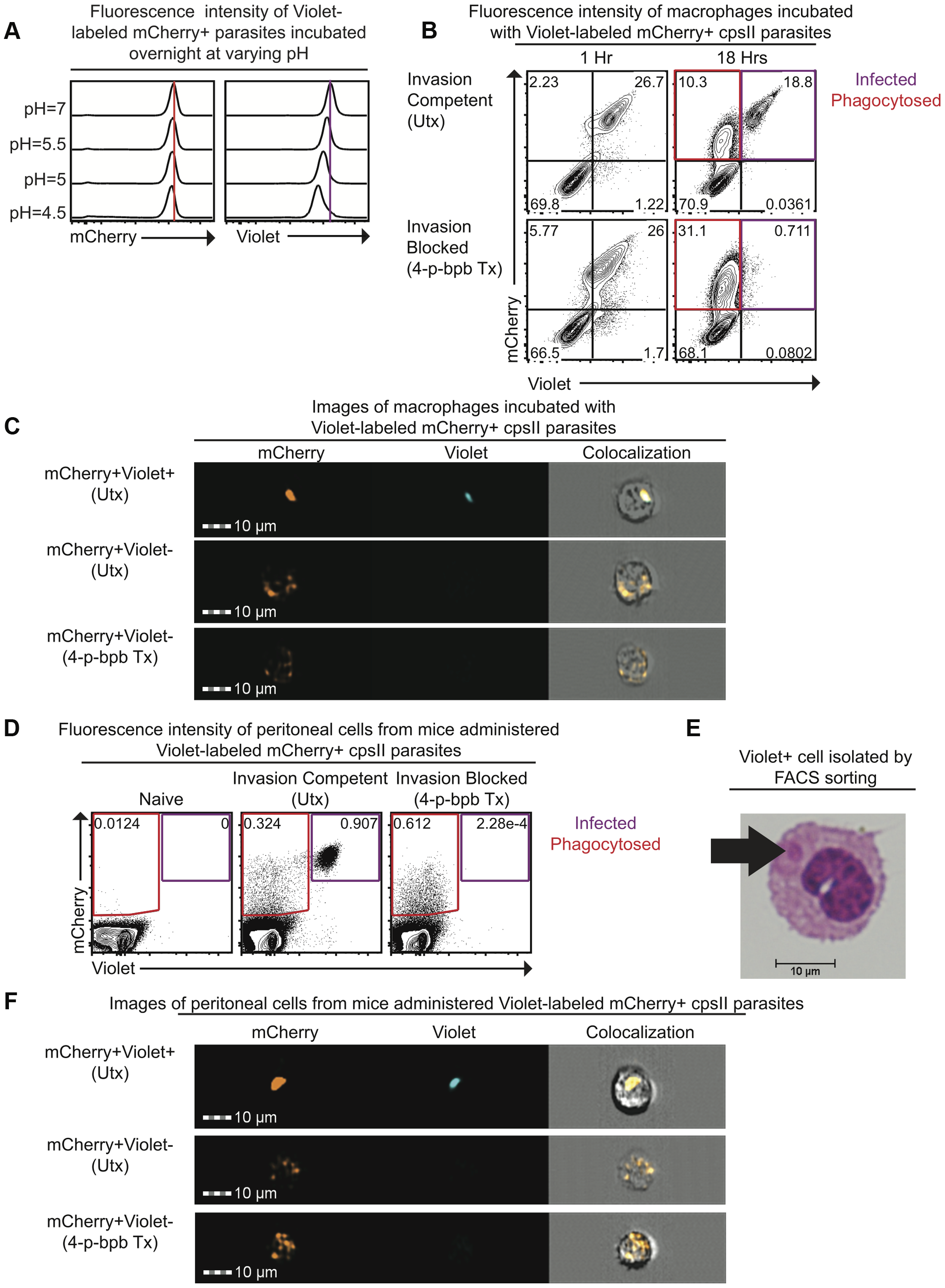 Differences in pH sensitivity of two fluorescent markers can be used to distinguish parasites that have been phagocytosed from those that actively invade host cells.