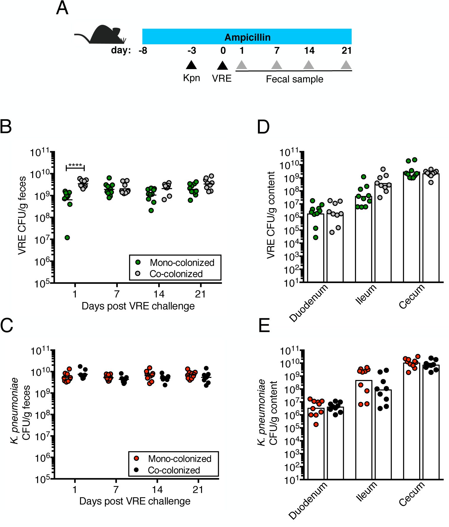 Pre-colonization with <i>K</i>. <i>pneumoniae</i> does not prevent colonization by VRE.