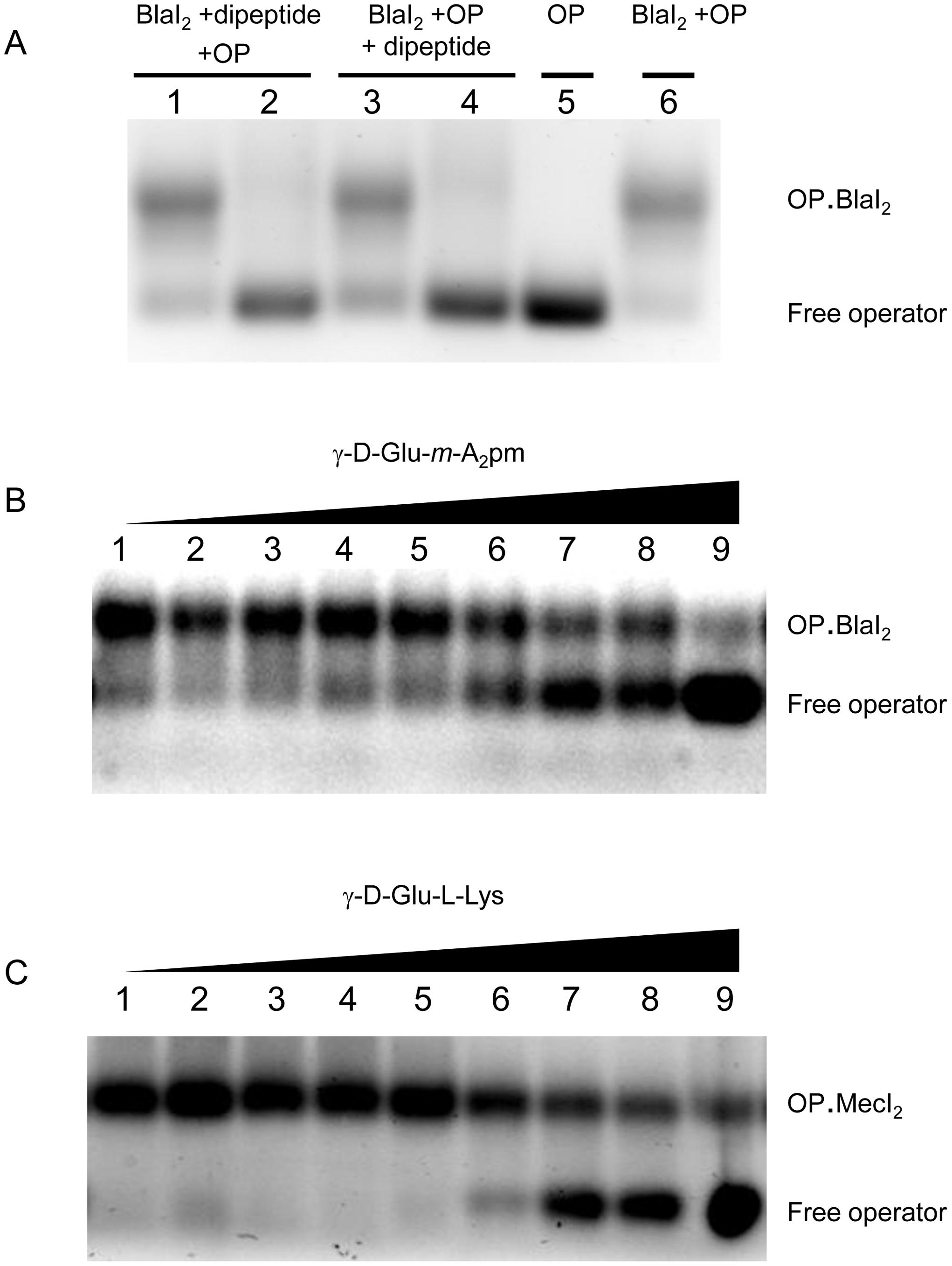 EMSA of BlaI/MecI.OP complex in presence of dipeptide.