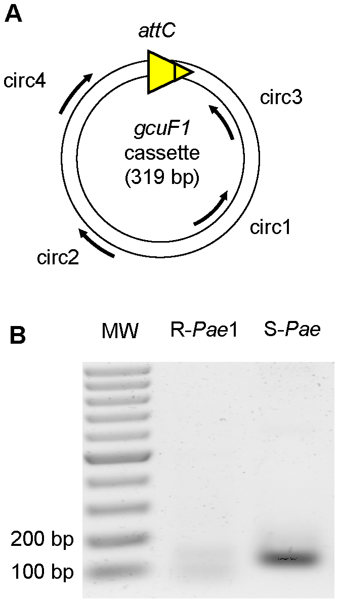 <i>gcuF1</i> gene cassette exists in free circular form.