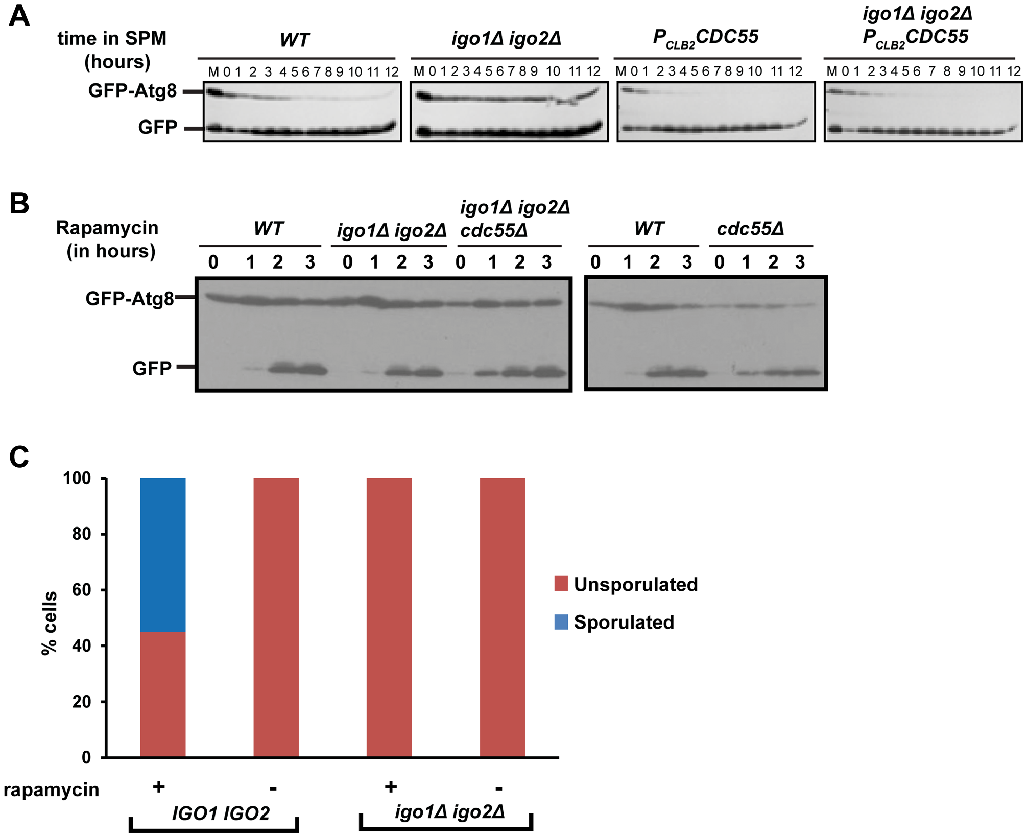 Endosulfine mutant is defective in pre-meiotic autophagy but not for autophagy induced by rapamycin treatment.