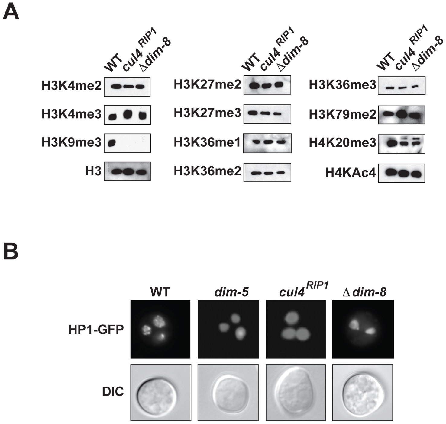 CUL4 and DDB1 are essential for H3K9 methylation.
