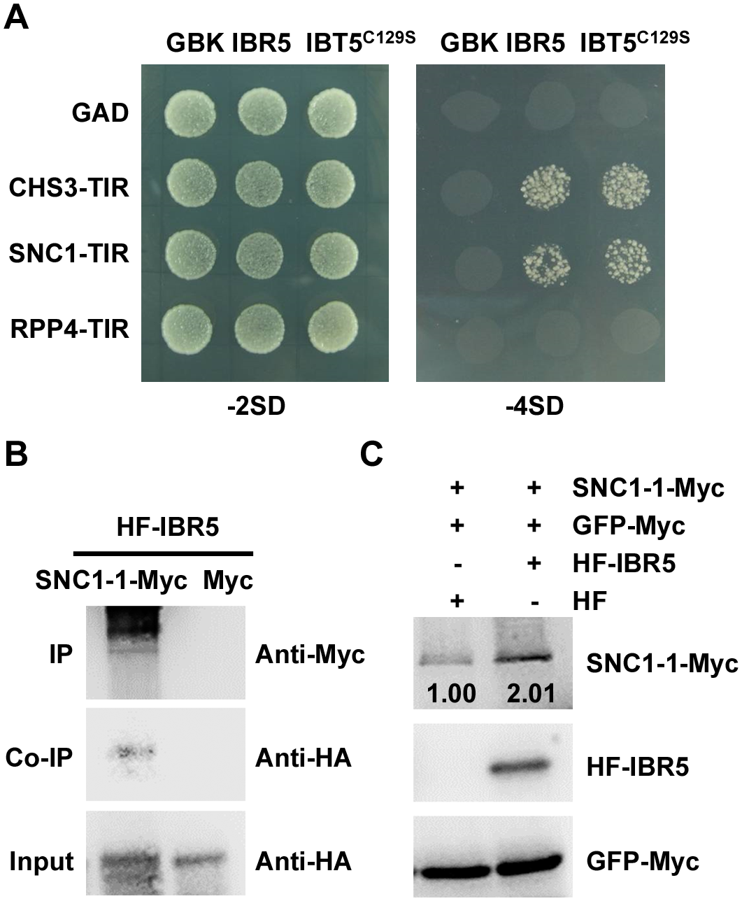 Interaction of IBR5 with SNC1 and RPP4.