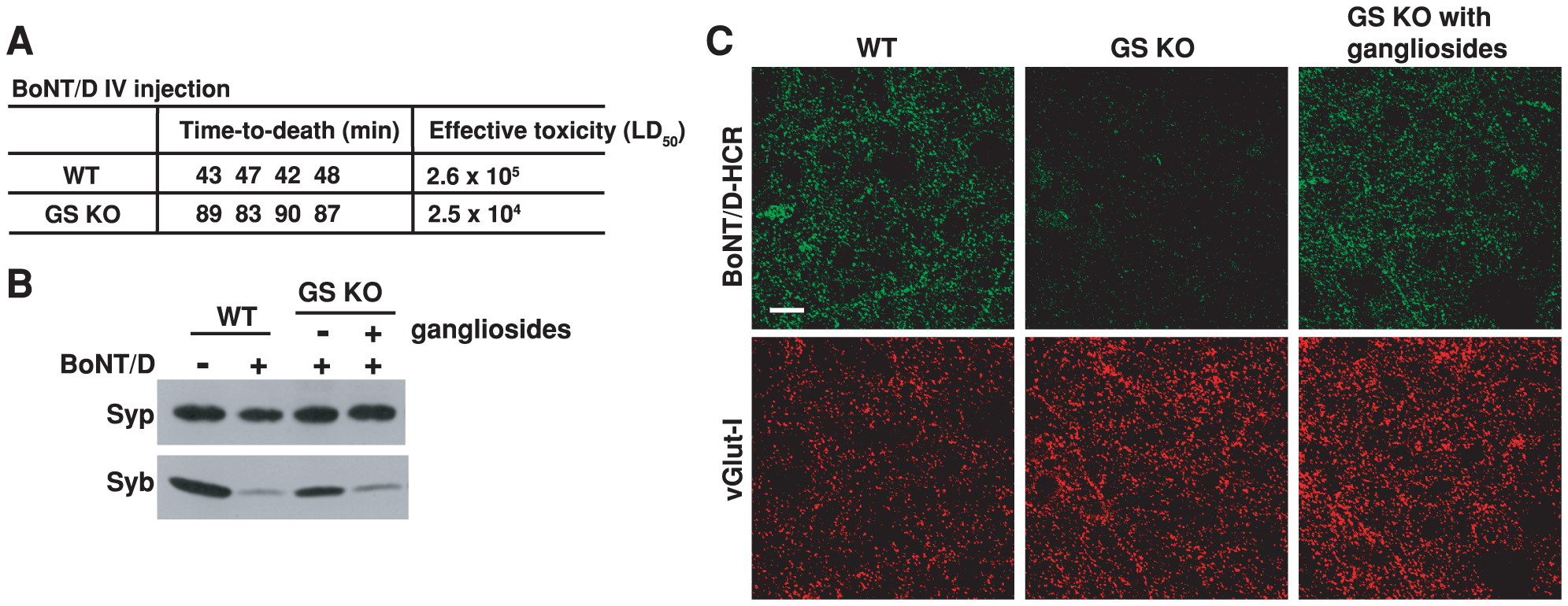 PSG are essential for the binding and entry of BoNT/D into neurons.