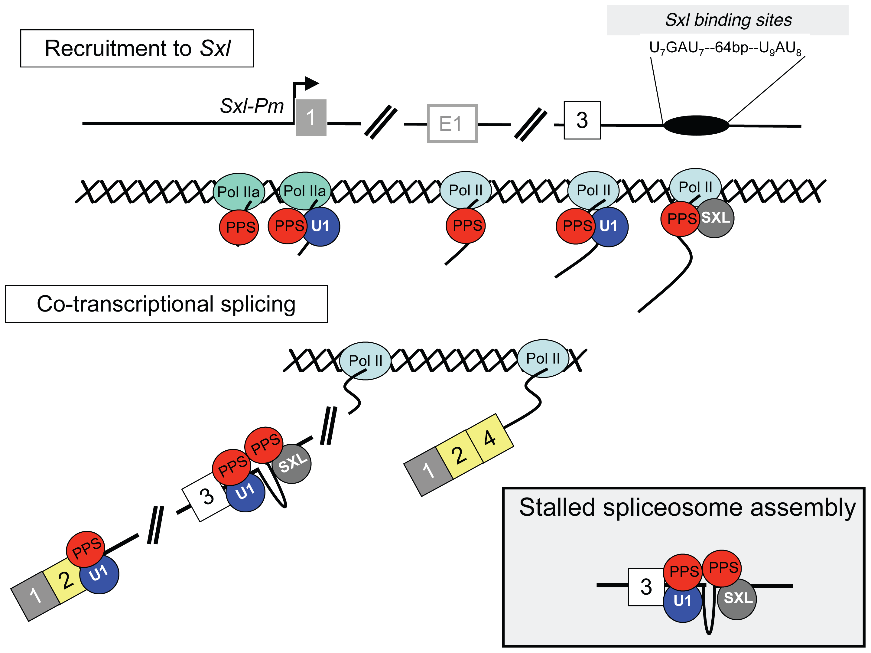 Co-transcriptional model for <i>Sxl</i> splicing autoregulation.