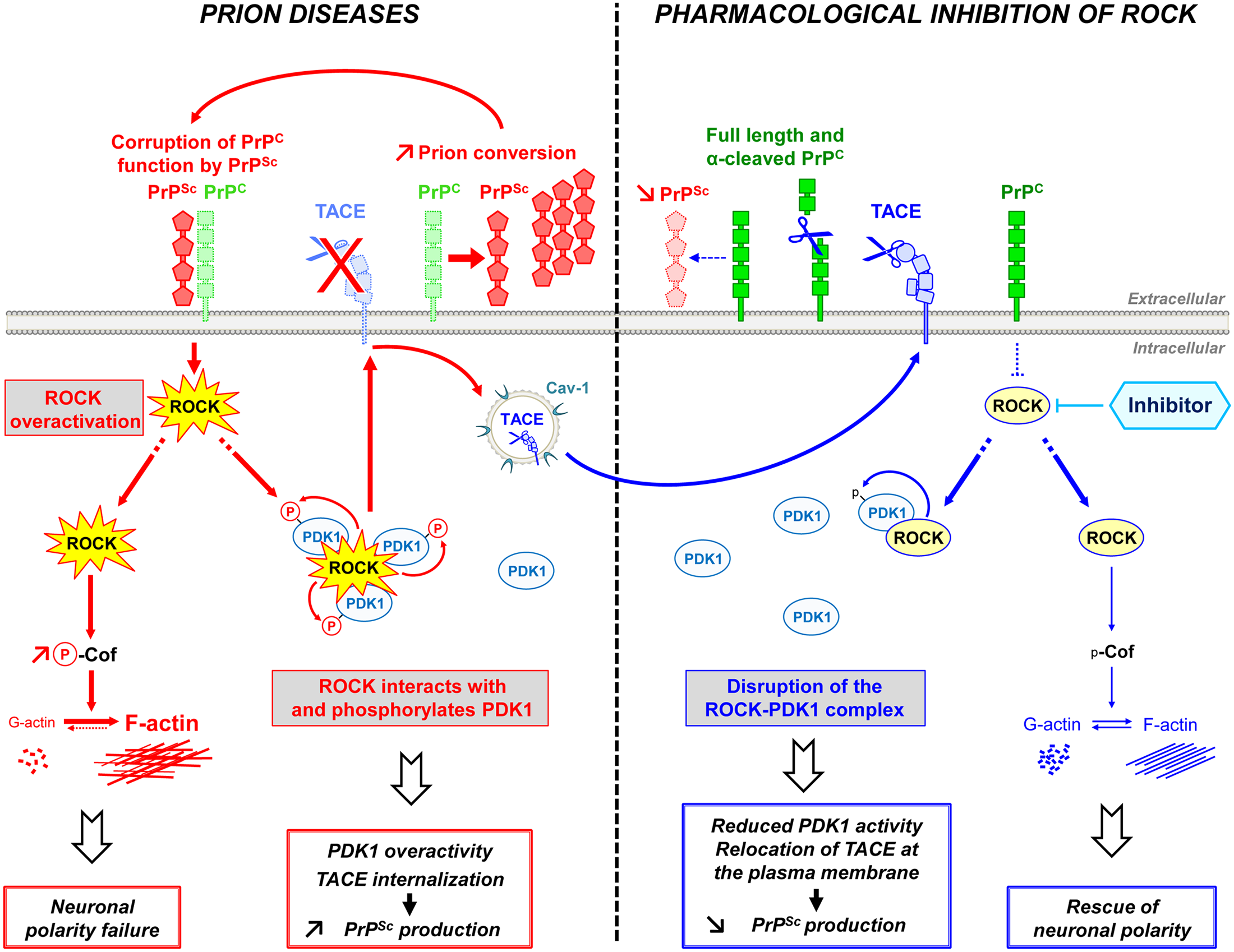 Schematic representation of ROCK dysregulation in prion-infected cells and incidence of ROCK overactivity on neuritogenesis and PrP<sup>Sc</sup> production.