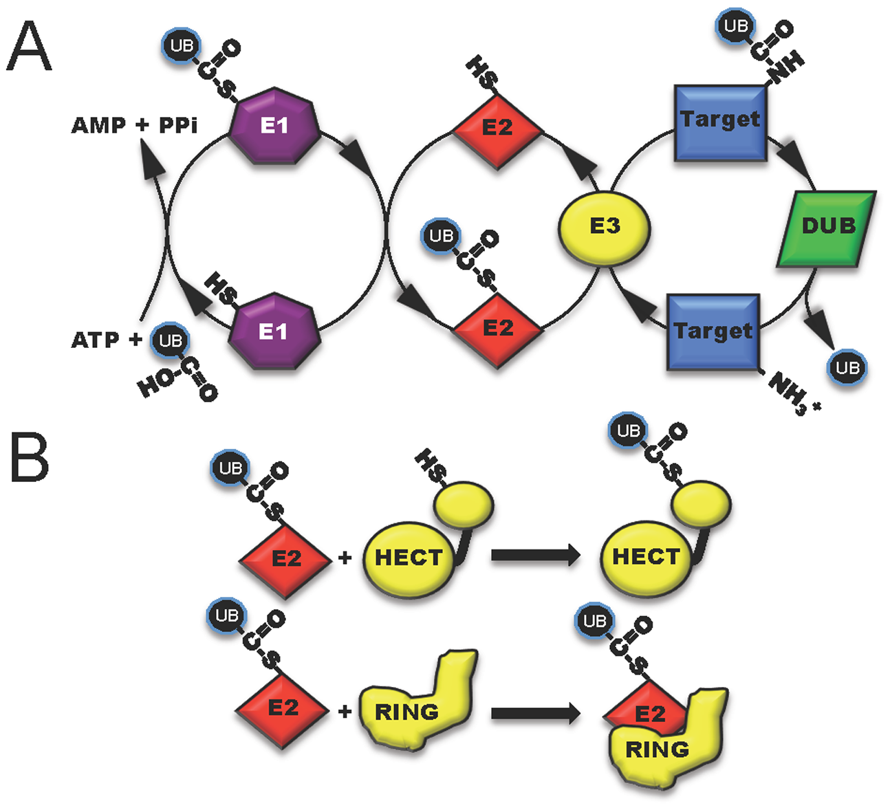 The three classes of host enzymes (E1, purple; E2, red; E3, yellow) involved in ubiquitin modification of target host proteins.