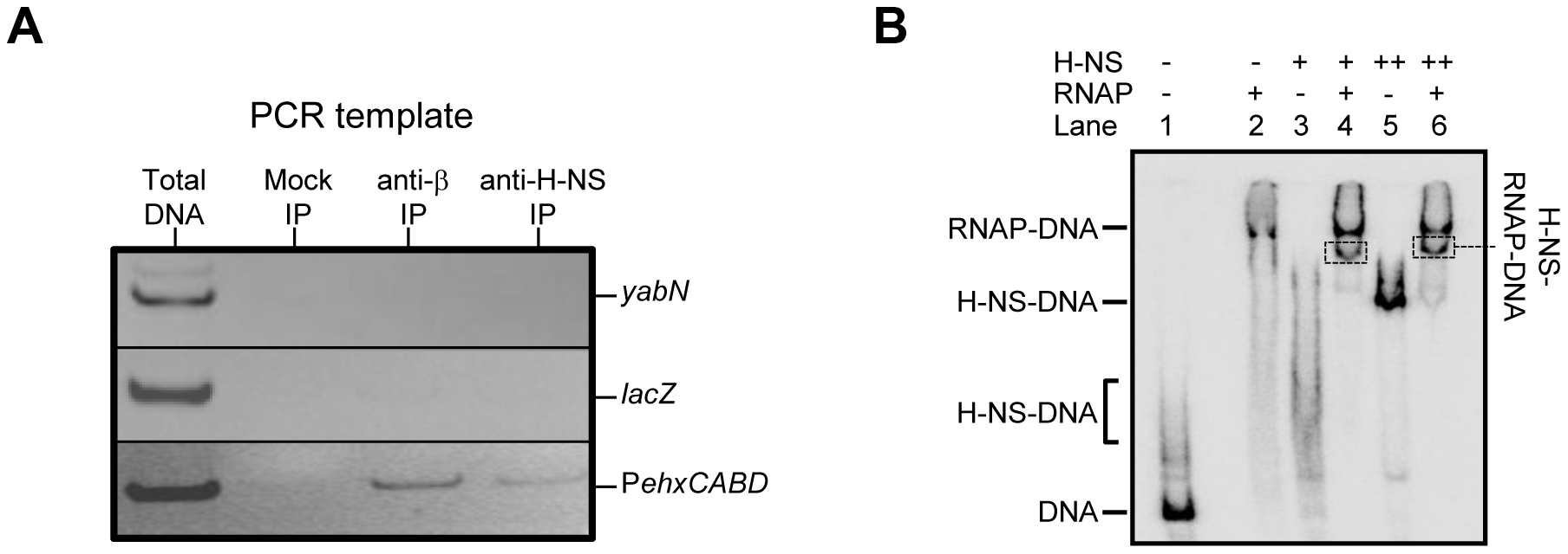 Co-association of RNA polymerase and H-NS with the<i>ehxCABD</i> gene regulatory region.
