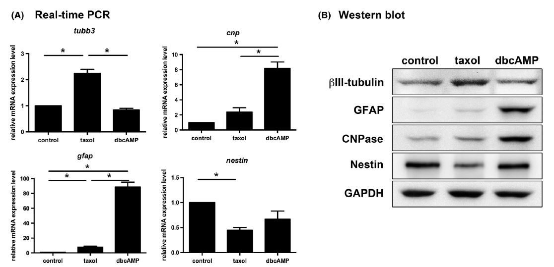 Figure 3. Characterizations of the mRNA and protein levels of ßIII-tubulin, GFAP, CNPase, and nestin in taxol- and dbcAMP-treated C6 cells by real-time PCR and Western blot analysis. (A) mRNA levels of tubb3, gfap, and cnp were upregulated but nestin mRNA was downregulated in taxol-treated C6 cells compared to the control group. The mRNA levels of target genes were calibrated based on the levels of gapdh mRNA. In dbcAMP-treated C6 cells, mRNA level of gfap, cnp, and nestin were upregulated compared to control group. Data are presented as the