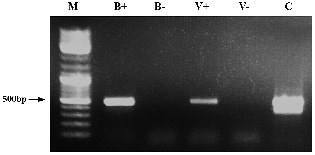 Demonstration of dsRNA transmission from adult bee to <i>Varroa</i>.
